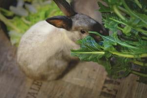 Les lapins se nourrissent de certains déchets verts